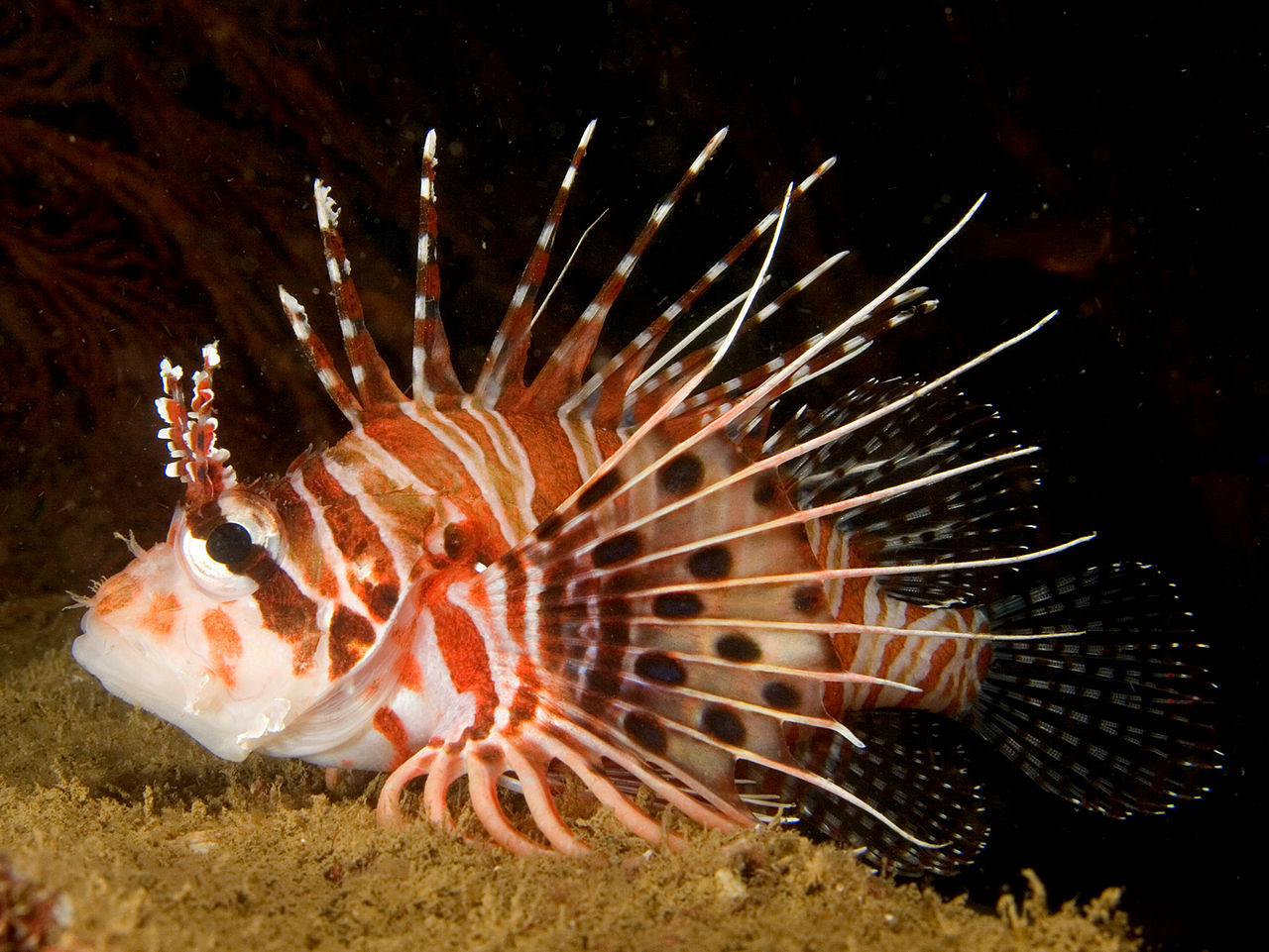 Ragged-finned firefish (Pterois antennata)