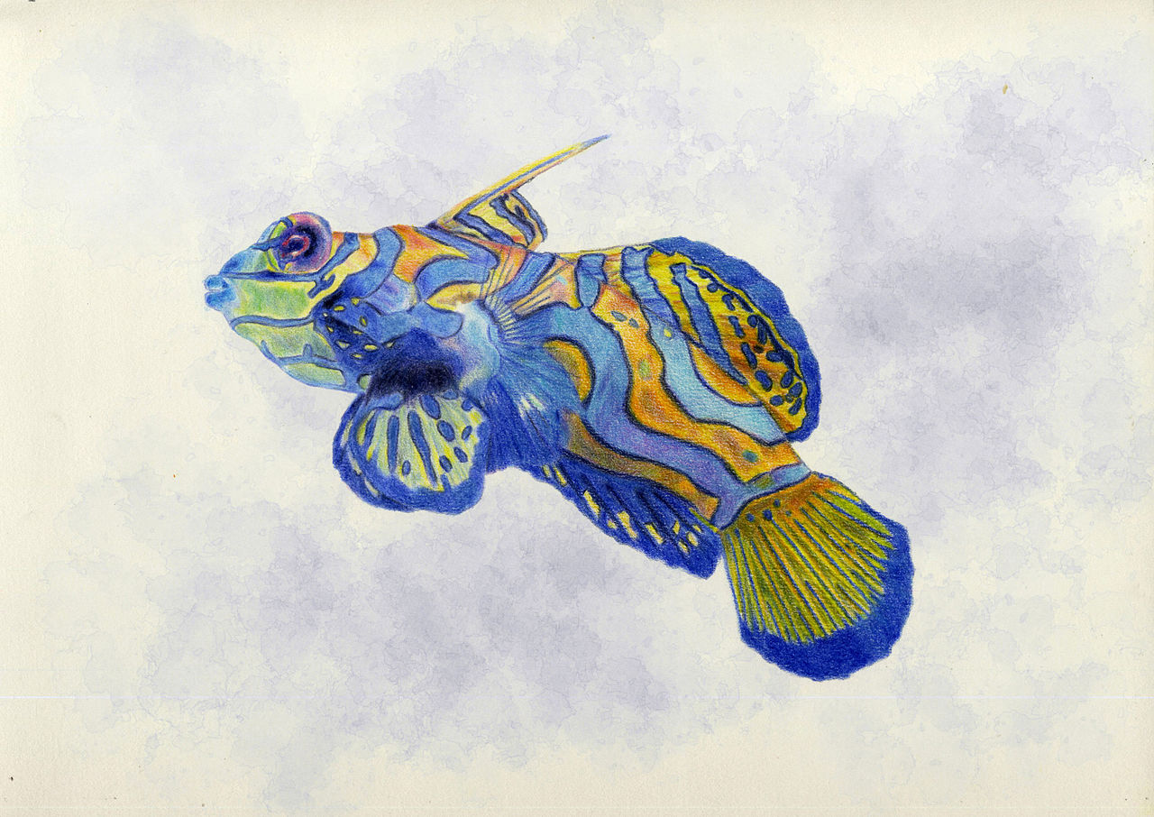 A drowing of Mandarinfish