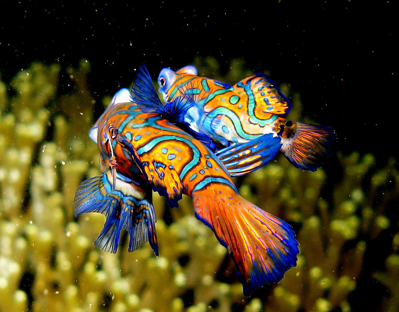 Mandarin Fish (Synchiropus splendidus) - mating