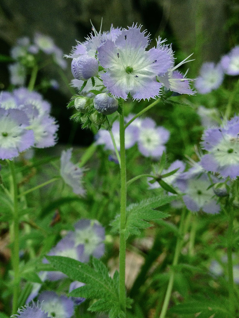 Phacelia purshii