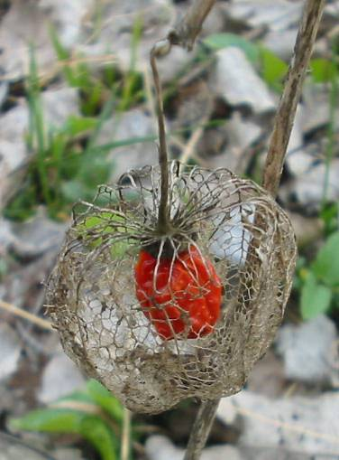 Physalis alkekengi, Fruit