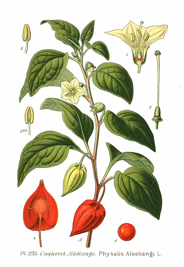 Illustration of Physalis alkekengi
