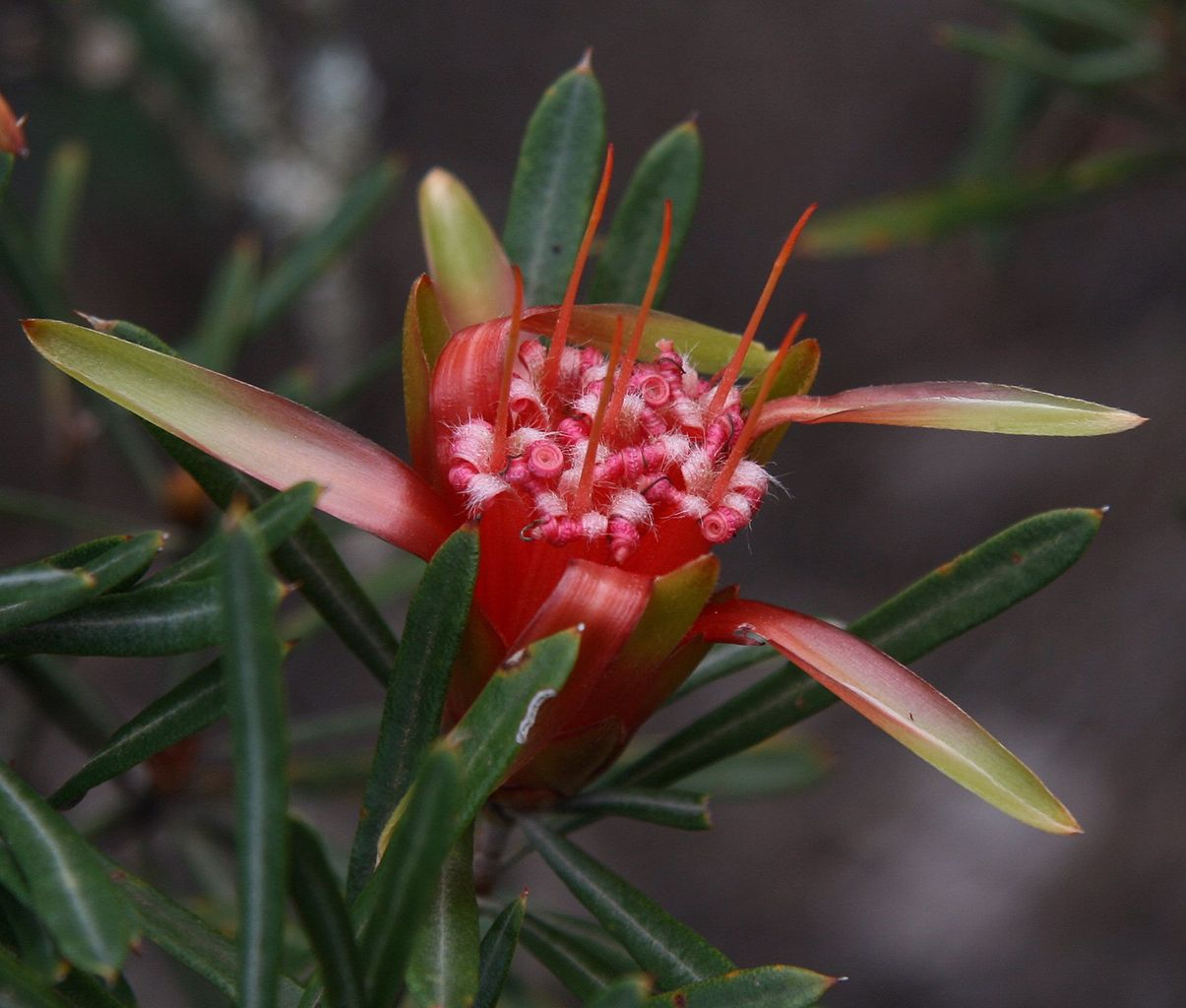 Flower of Lambertia formosa
