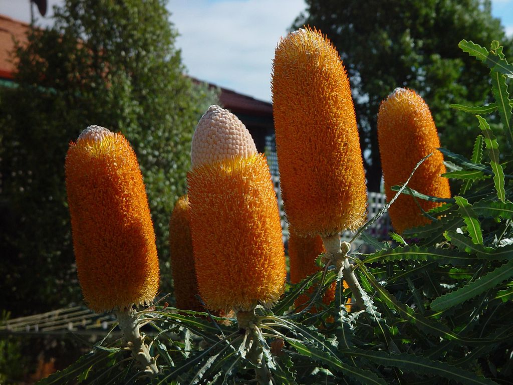 Banksia flowers plant