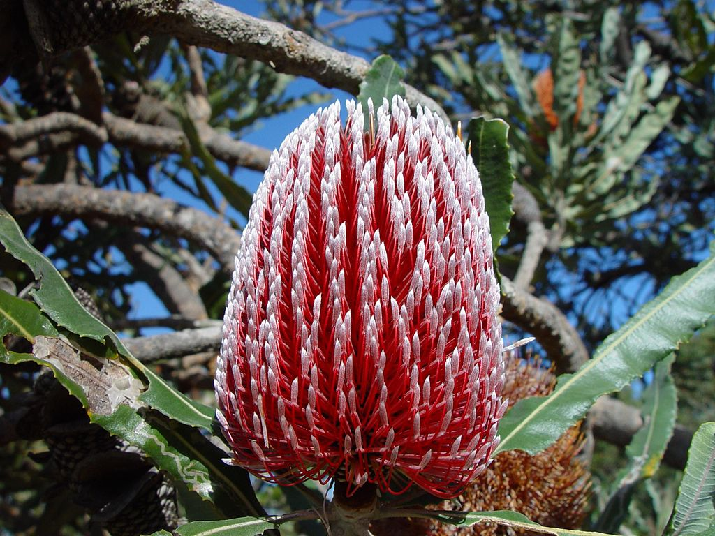 Red Banksia menziesii flower bud