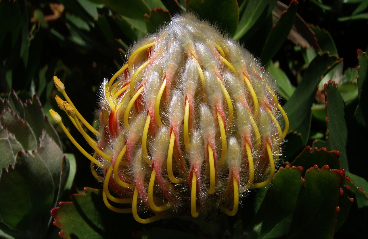 Pincushion -Leucospermum 'Veld Fire' Flower Bud