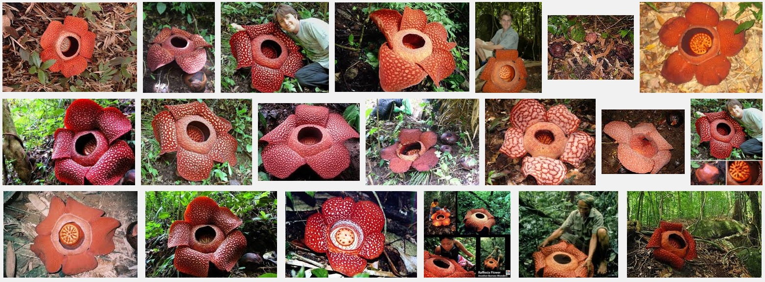 Rafflesia photo collage