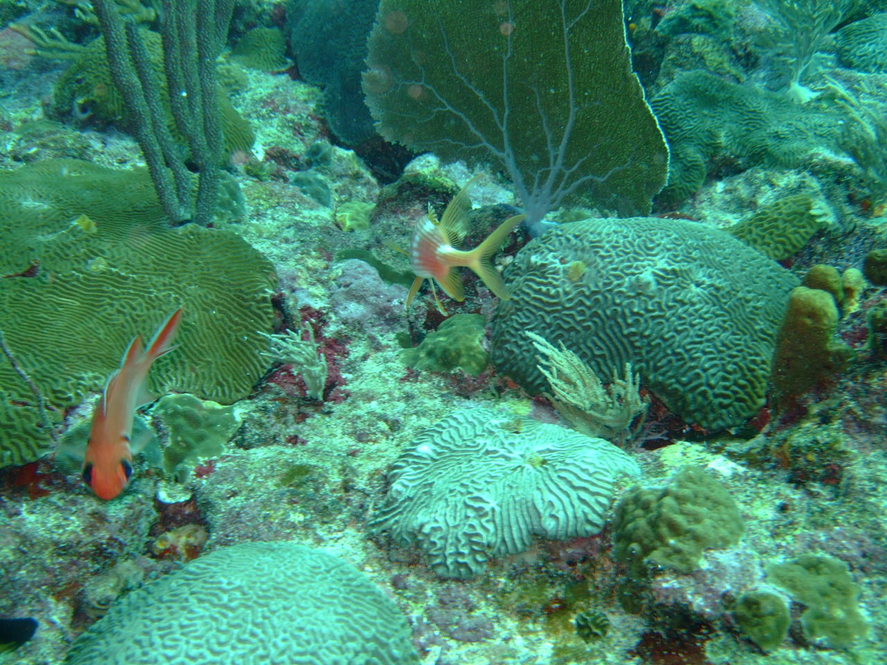 Clumps of healthy hard coral living on the old dead coral substrate
