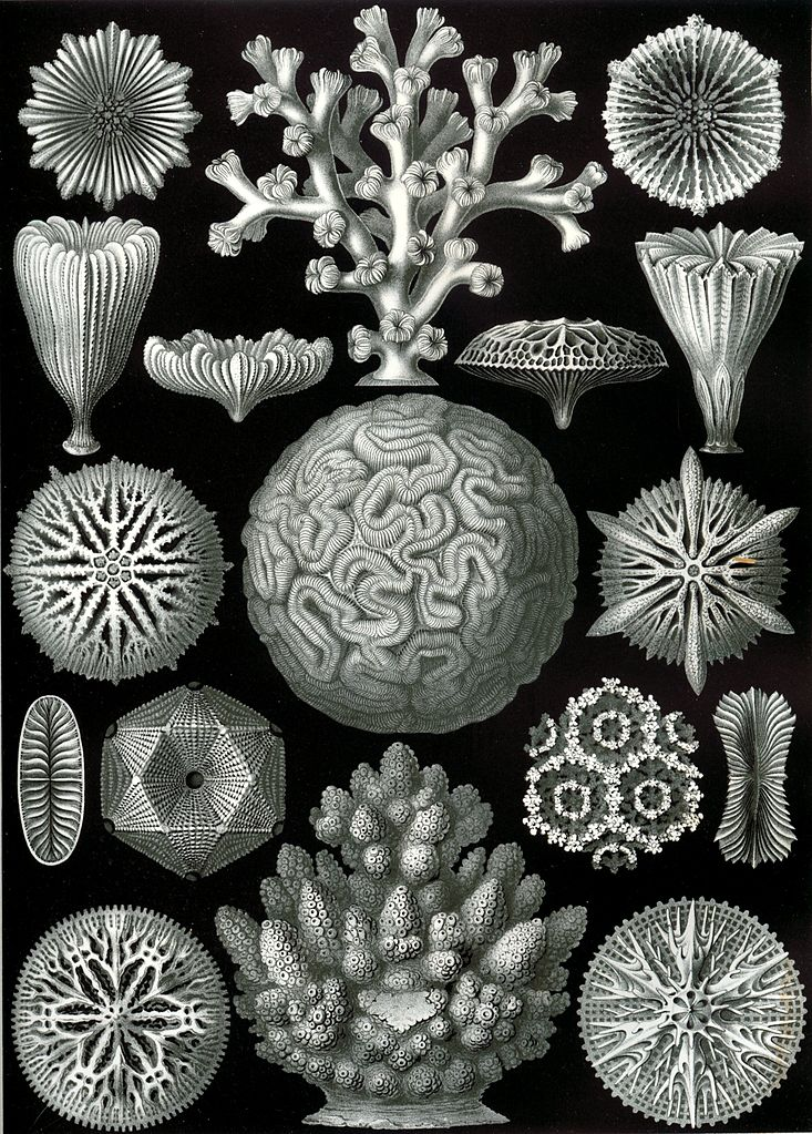 Scleractinian corals