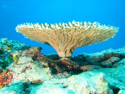 Table coral of genus Acropora (Acroporidae)