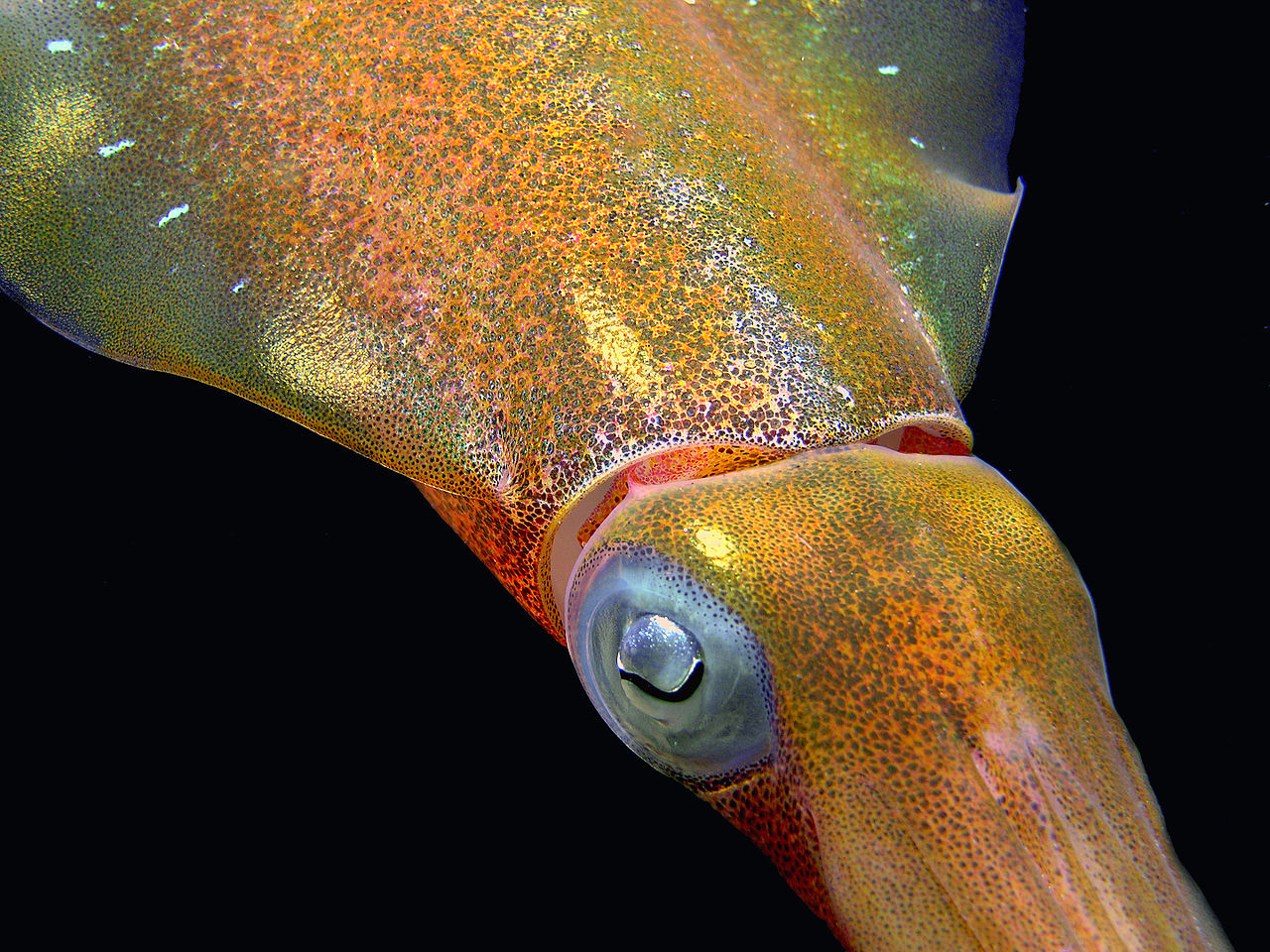 Close-up of a Caribbean reef squid