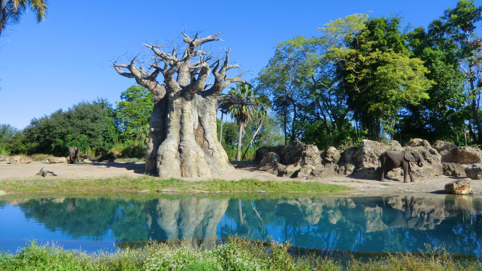 African Baobab tree at Disney's Animal Kingdom