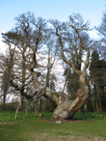 Queen Ermengarde's Chestnut at Balmerino Abbey, Fife, Scotland.