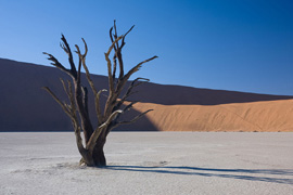Dead Acacia erioloba in Deadvlei, in the southern part of the Namib Desert, Namibia.