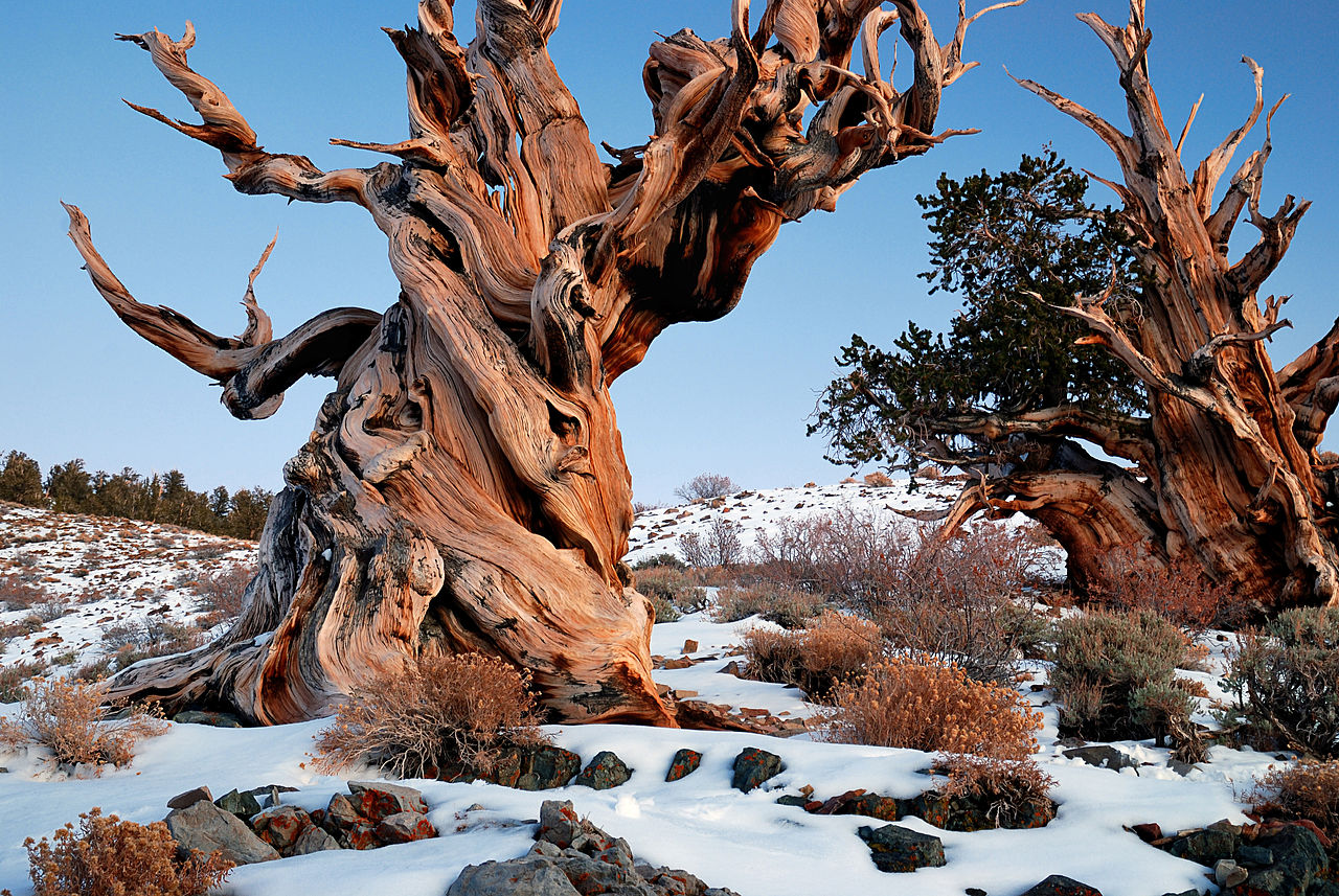 Great Basin bristlecone pine (Pinus longaeva) tree