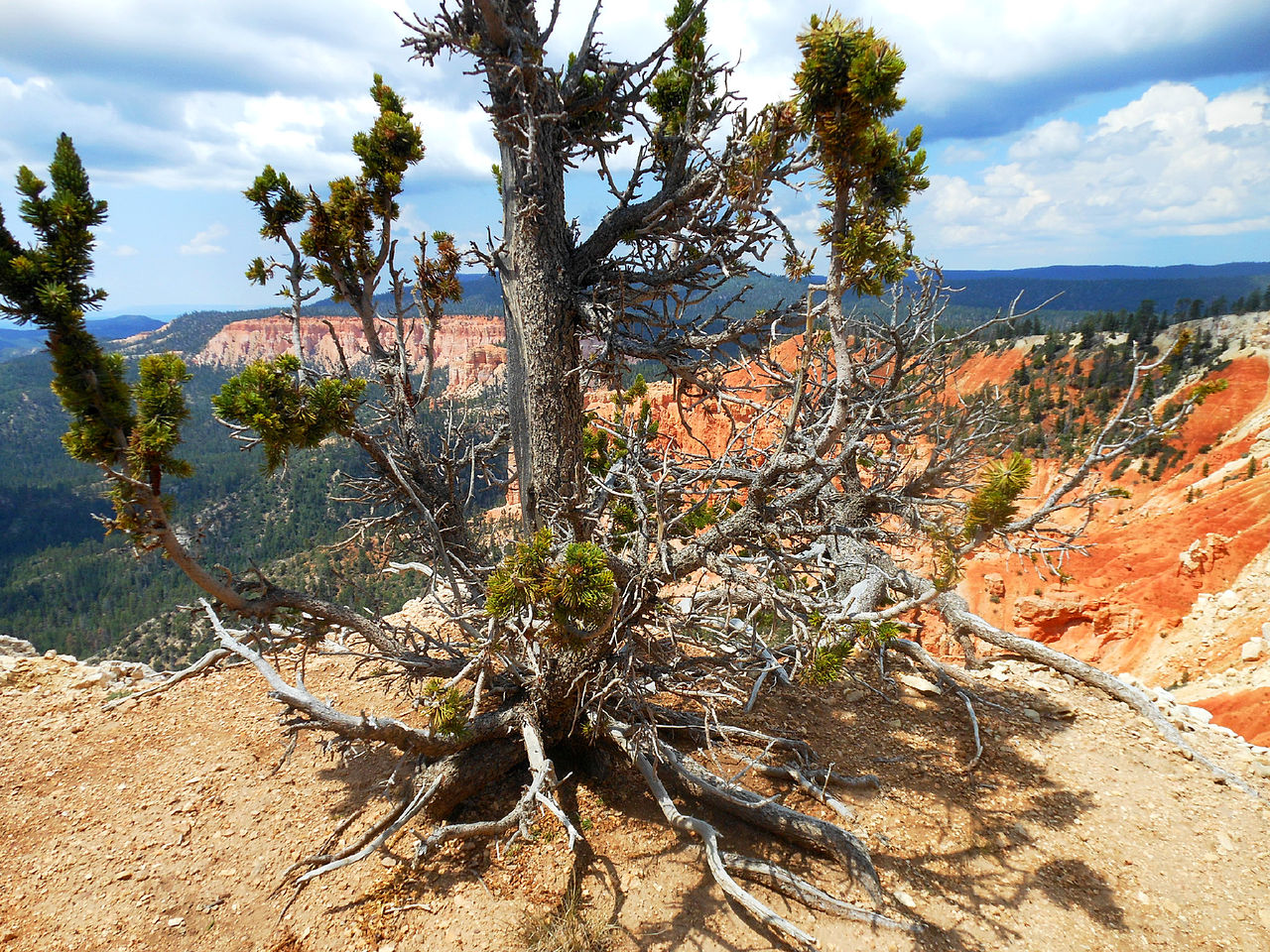 Bristlecone pine in Bryce Canyon National Park.