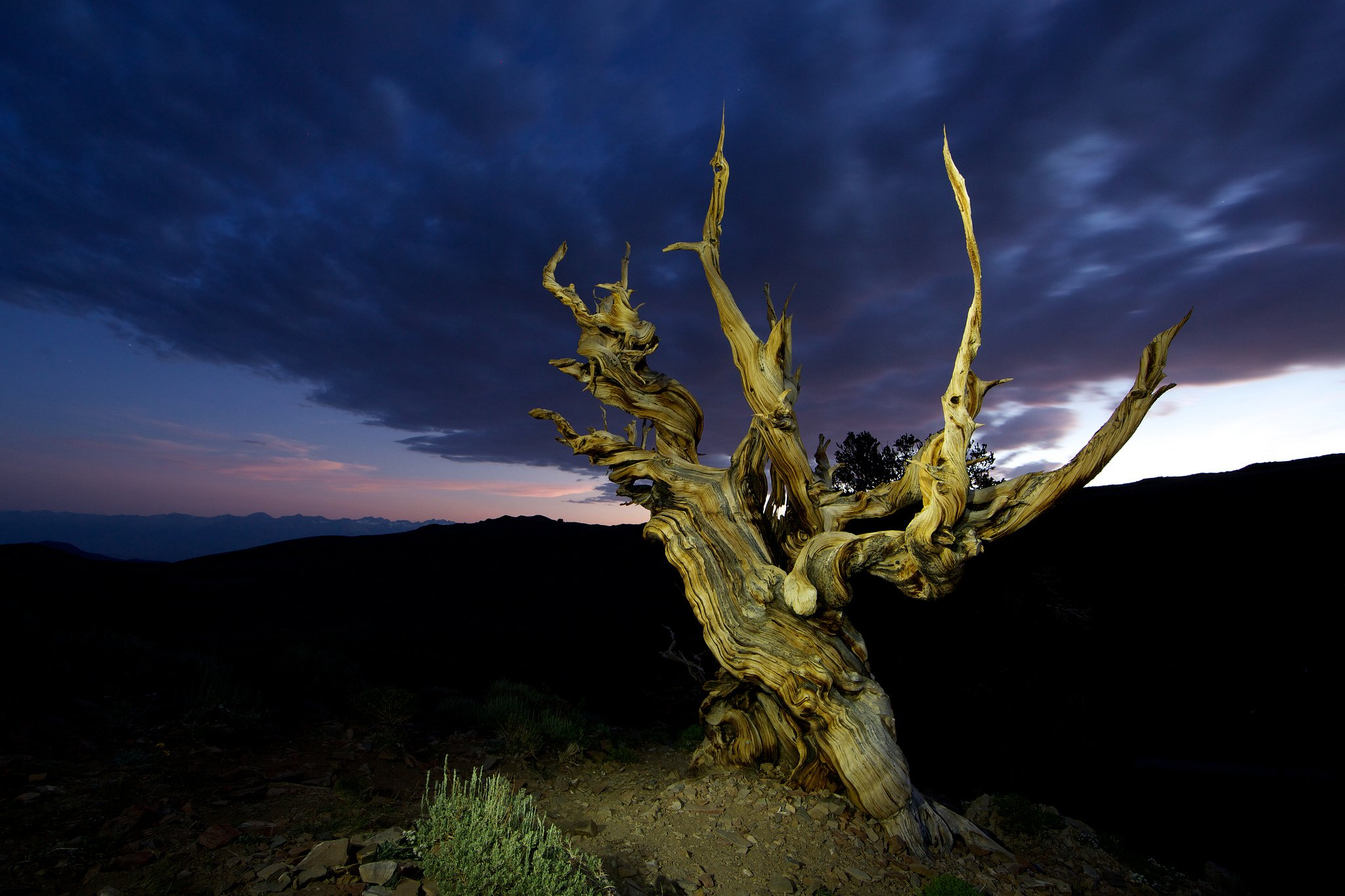 Methuselah Tree, Bristlecone pine, White Mountain, California
