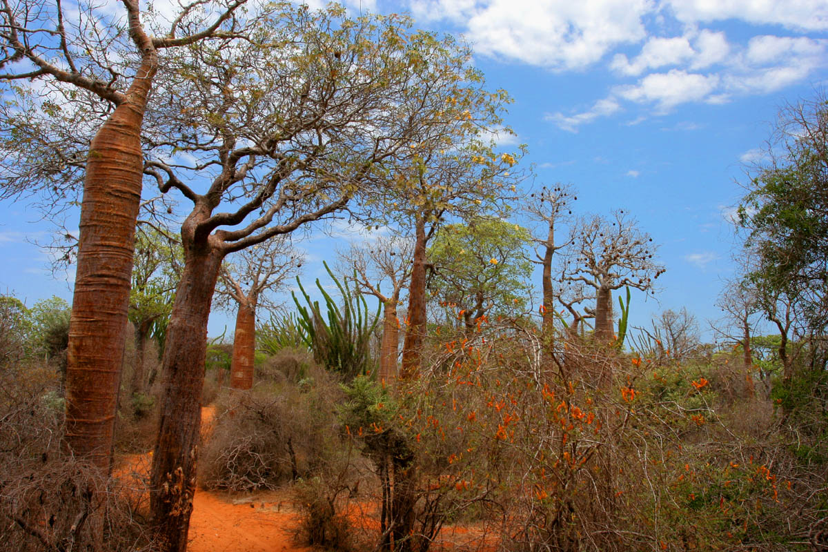 Spiny forest at Ifaty, Madagascar, featuring various adansonia (baobao) species, alluaudia procera (Madagascar ocotillo) and other vegetations.
