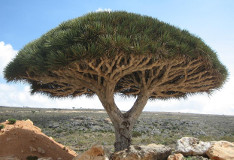 Dracaena cinnabari (Dragon's Blood Tree)