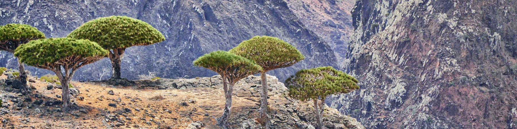 Dragonblood Tree