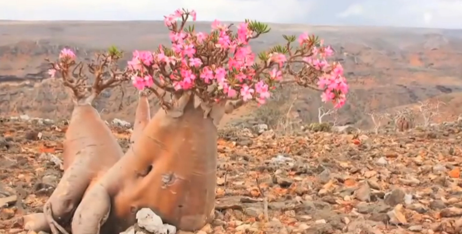 Desert Rose Bottle Tree blossoms