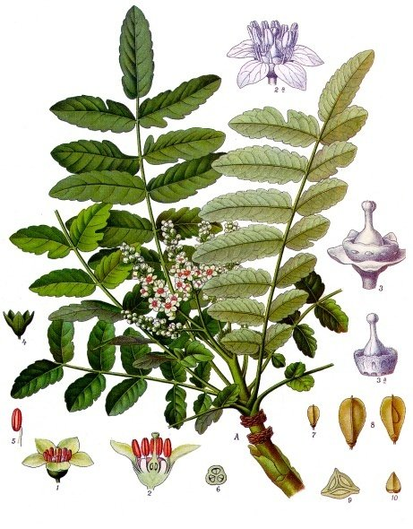 Boswellia sacra illustration