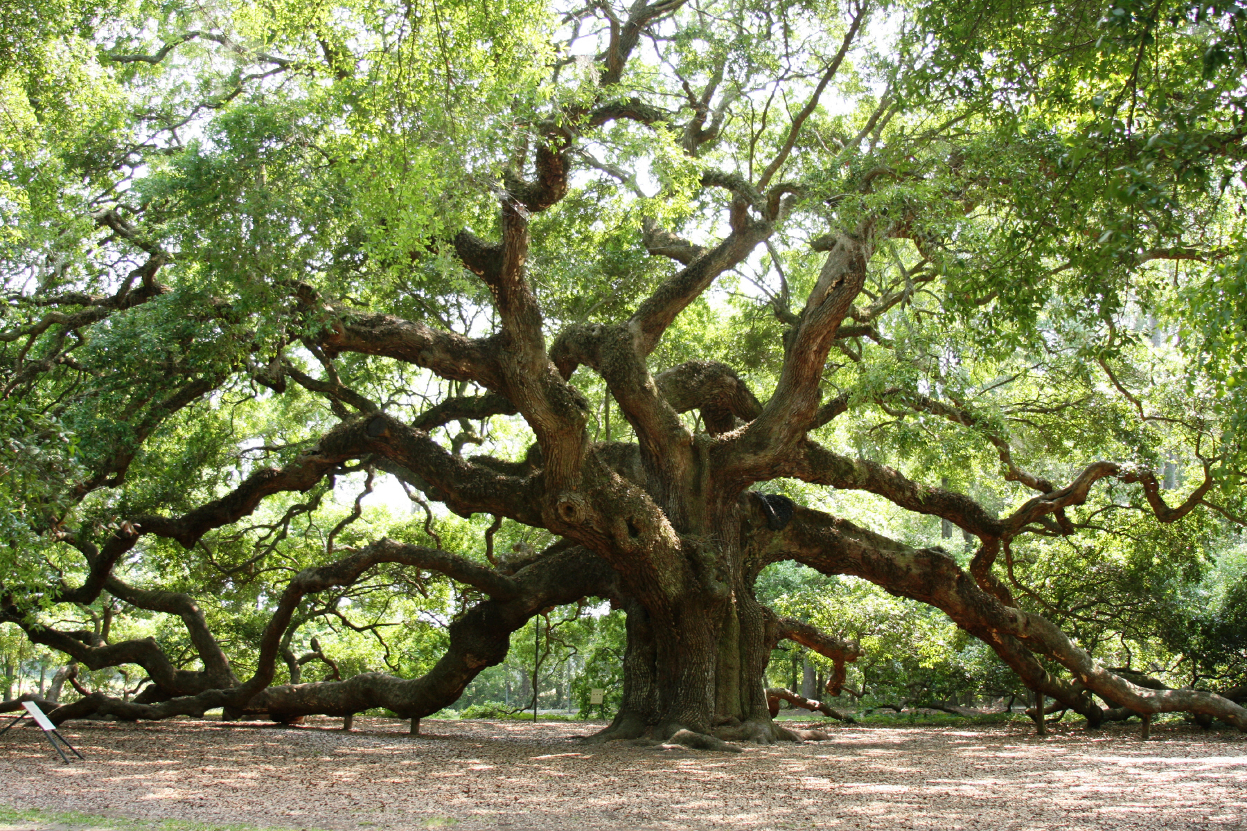 Angel Oak Tree near Charleston, South Carolina