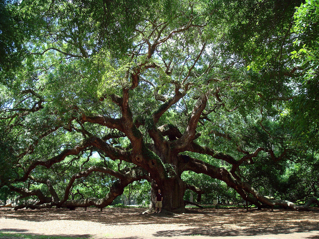 The Angel Oak on Johns Island, South Carolina