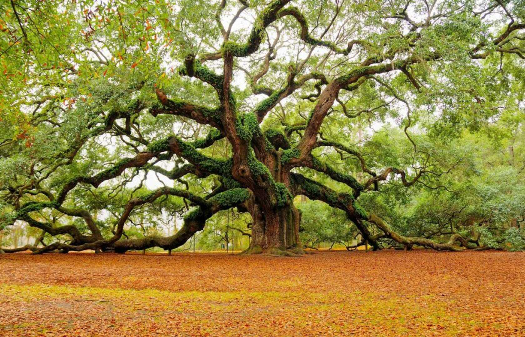 The Angel Oak Tree in South Carolina