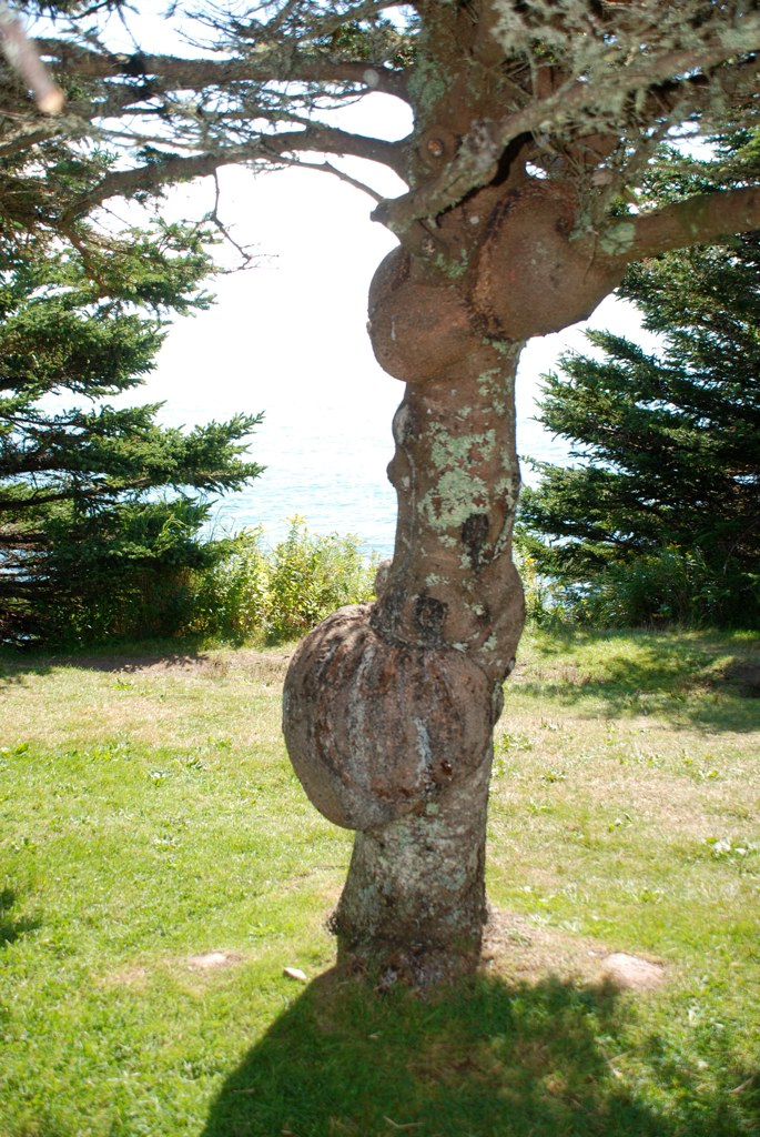 Tree with multiple burls (Quoddy Head State Park, Maine)
