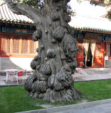 Multiple burls on a several hundred years old cypress tree at the Beijing Temple of Confucius, China.