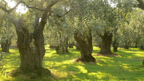 Olive trees on Thassos, Greece