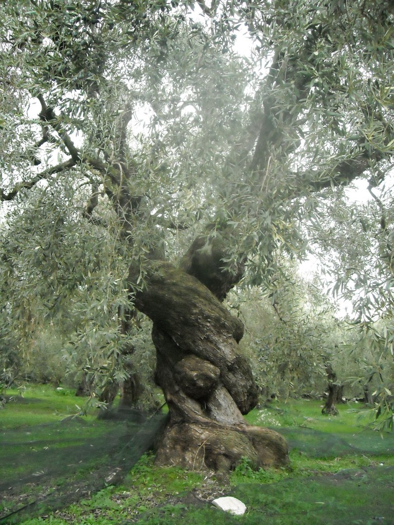 Ancient Olive Tree in Greece