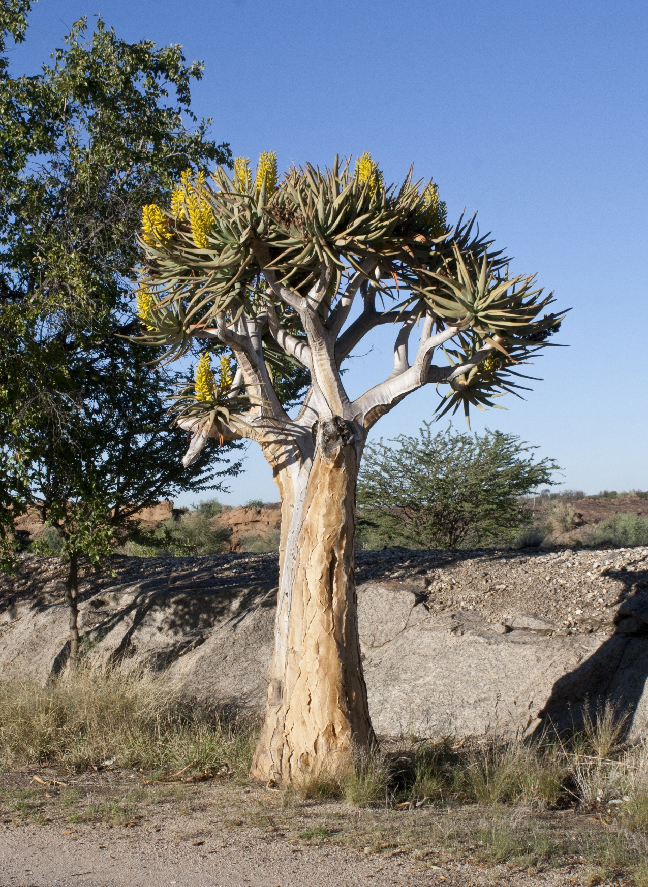 Quiver tree (Aloe dichotoma) in flower