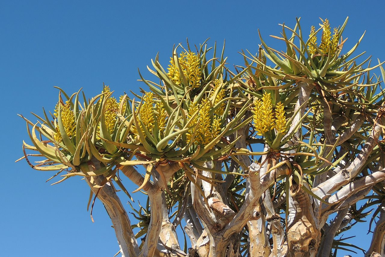 Quiver tree (Aloe dichotoma) flowers