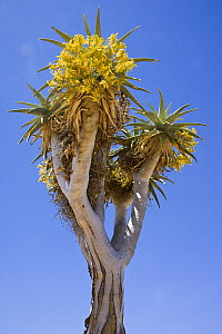 Aloe pillansii (Giant Quiver Tree)