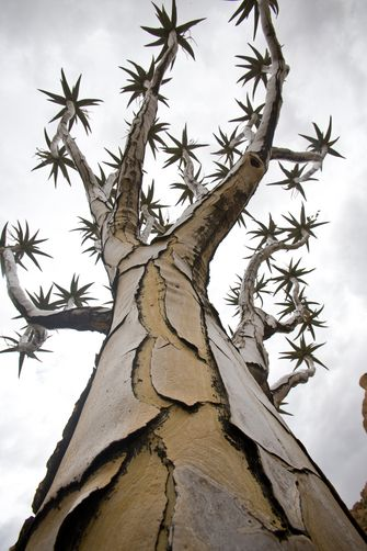 A QUIVER TREE IN SPITZKOPPE, NAMIBIA