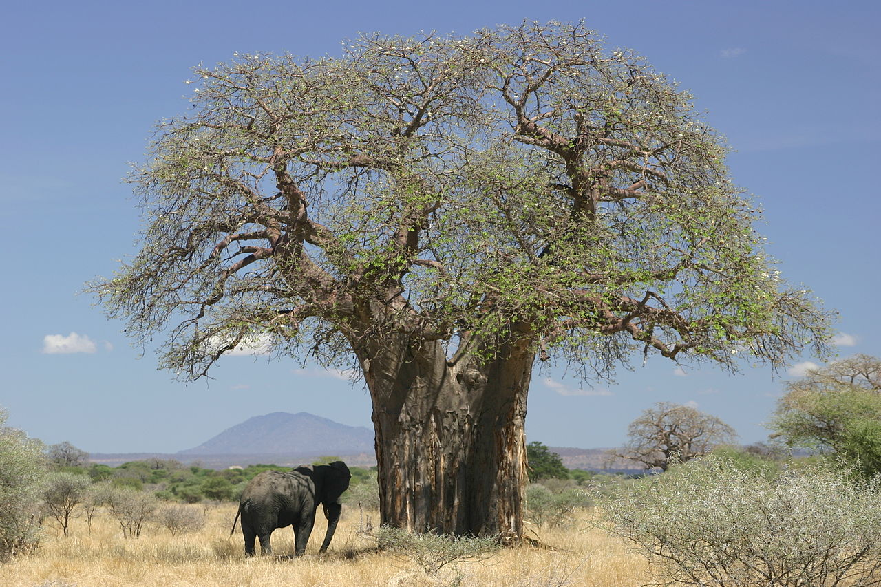 Baobab (Adansonia digitata) and elephant, Tanzania