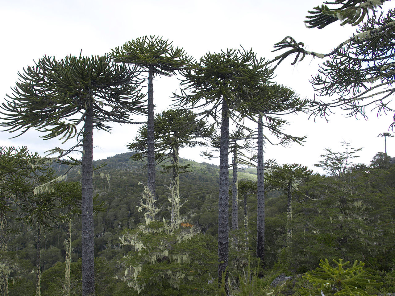 Mixed forest of Araucaria and coigüe in Nahuelbuta National Park, Chile.