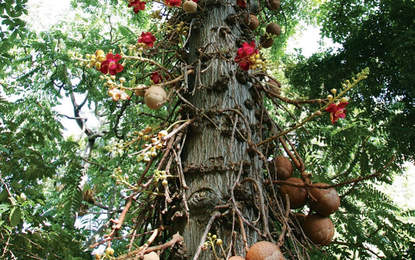 Cannonball trees (Couroupita guianensis)