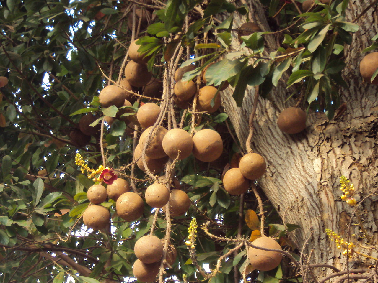Cannonball tree Fruits
