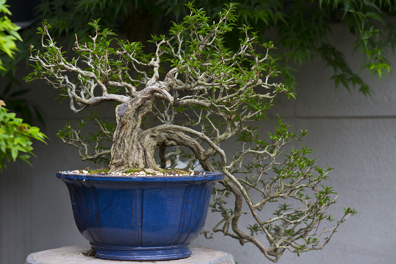 Bonsai tree at display