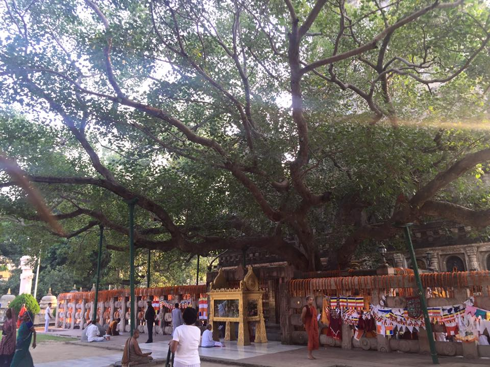Mahabodhi tree next to the Mahabodhi Temple