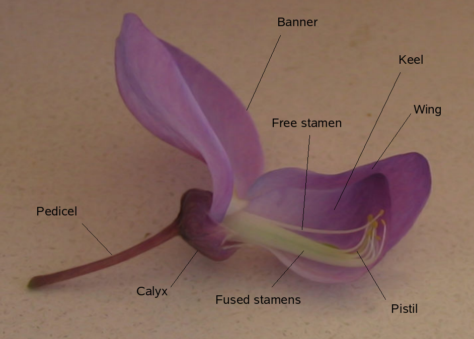 Description of a flower of Wisteria sinensis