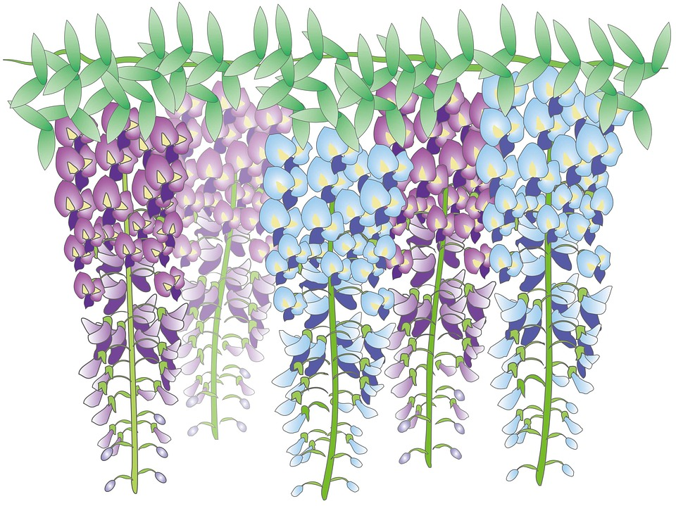 Wisteria Flowers, Japan (Illustration)