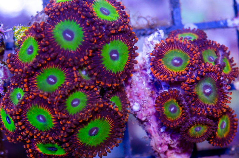 Candy Apple Reds  (A Palythoa sp.)