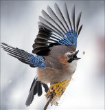 A jay picks kernels in the forest