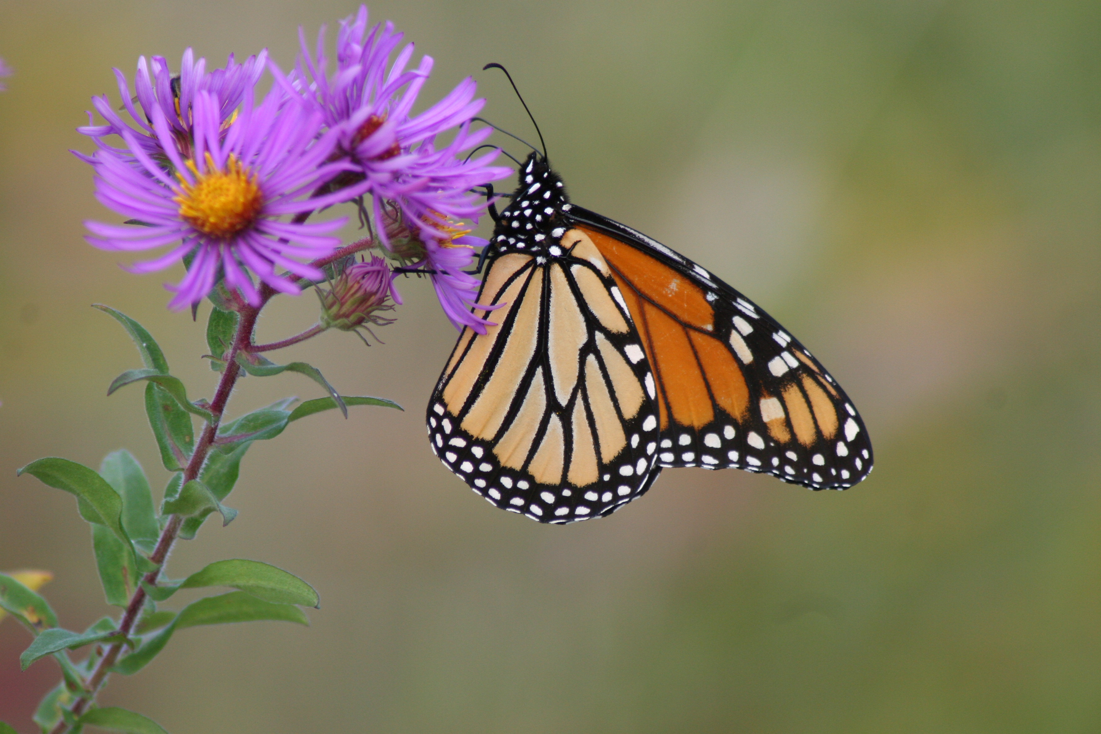 Monarch butterfly on a New England aster