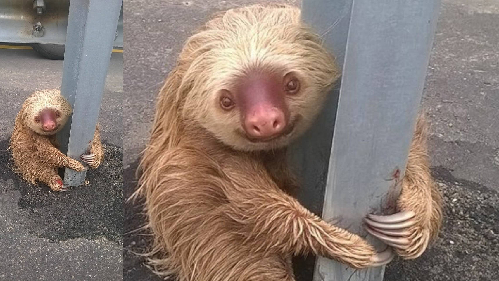 The-most-adorable-sloth-ever-stranded-on-highway