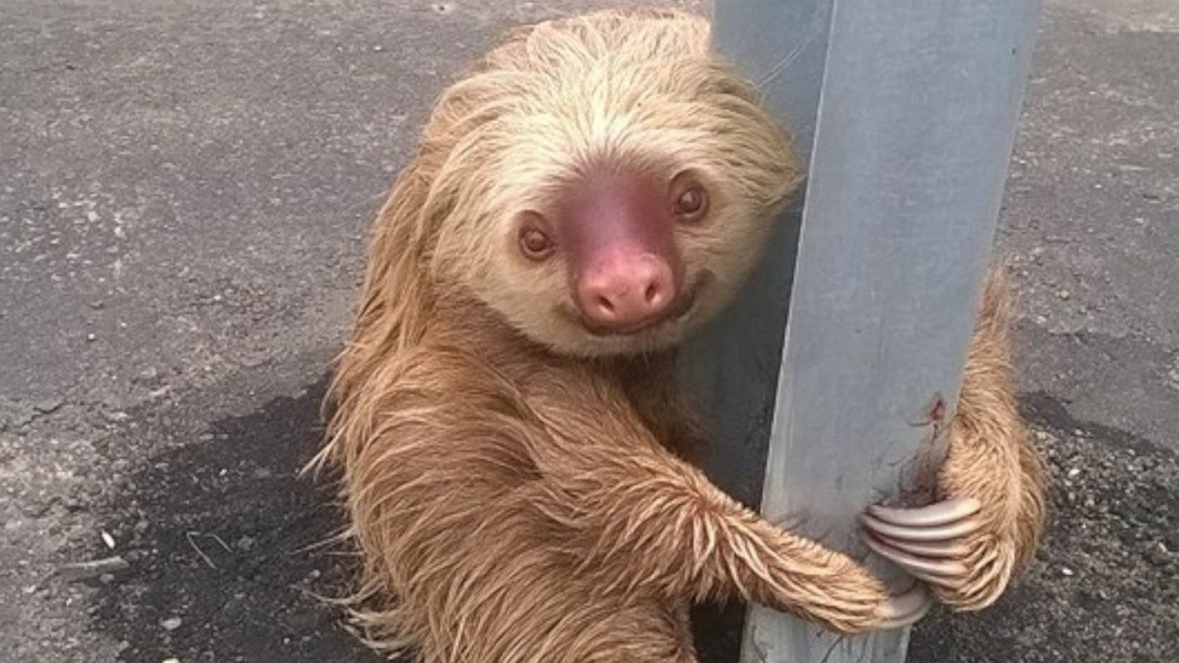 Sloth rescue by Ecuadorian transit authorities.